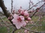 Sshinpu_peach2